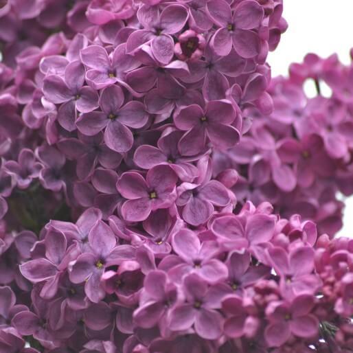 Lilacs 1287880 1920 514×514