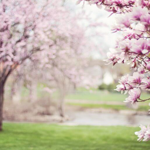 Magnolia Trees 556718 1920 514×514