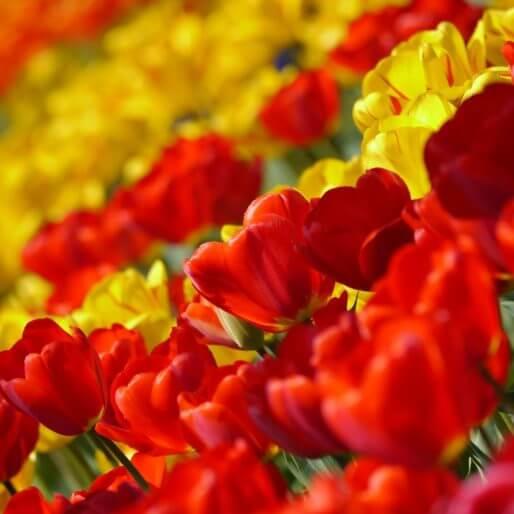 Tulip 67410 1280 514×514